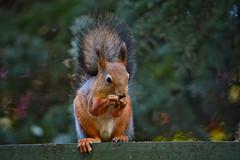 Ooh... Tasty!  Happy #squirrel :-) (L.Lahtinen (with cold symptoms now)) Tags: squirrel claws redsquirrel tasty nikond3200 55300mm nikkor nature finland orava luonto kurre wildlife furry cute adorable sp suloinen eating breakfast suomi pretty larissadatsha bokeh fauna beautiful