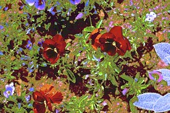 Proud Pansies! (maginoz1) Tags: flower flora pansies blue abstract art curves manipulate spring october 2016 auckland newzealand canon g3x