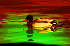 Lluvia roja (seguicollar) Tags: sombra lluvia rojo red agua pato nade ave virginiasegu imagencreativa photomanipulacin artedigital arte art artecreativo