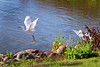 Snowy egrets (GerryL) Tags: gerryl sacramento california canoneos7d canonef70200mmf4lusm canonextenderef14xii northnatomasregionalpark
