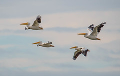 John, Paul, George and Ringo (~ Bob ~) Tags: american white pelican nature washington state whidbey island flight graceful americanwhitepelican whidbeyisland washingtonstate bird