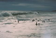 Sanderling Flock (Nsharp17) Tags: nikon nikonfe film 35mm kodak ektar ektar100 beach ocean shore waves marthasvineyard lucyvincentbeach birds flight shorebirds sanderling