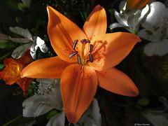 often just a ray of sunshine... (Marco Ottaviani on/off) Tags: natura nature fiori flowers liliaceae lilium sole sun raggio ray sunshine canon marcoottaviani