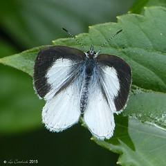 White hedge blue (LPJC) Tags: munnar kerala india 2015 lpjc butterfly whitehedgeblue udaraakasa sahyadriwhitehedgeblue