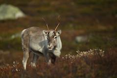 Wild Reindeer (Fredrik Stige/Wildlife Photography) Tags: wildreindeer reindeer villrein autumn mountains norway mammals wildlife cervidae rangifertarandus antlers