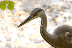 hron (warnerbrosandsisters) Tags: bta heron bird grey water fishing national geographic wildlife extrieur oiseau animal