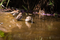 Bathing (Cloudtail the Snow Leopard) Tags: spatz zoo karlsruhe tier animal vogel bird sperling sparrow passeridae wasser water baden bath cloudtailthesnowleopard