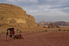Camels, Wadi Rum (The_mediterranean_traveler) Tags: backpacking hiking desert wadirum jordan redsand rawimages nikon nikond5300 camels peaceful serene nature naturalbeauty colourful vibrant cloudy bluesky