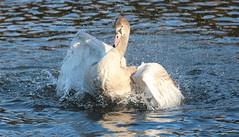 "Juvenile Swan No7 (jdathebowler Thanks for 1.1 Million + views.) Tags: swan juvenileswanno7 mute waterfowl familyanatidae cygnusolar ilovebirds birdsinternational ""canonflickraward"