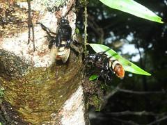 apidae_julio-16_06 (Reinaldo Aguilar) Tags: apidae abejas