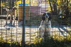 Preso :( (PrimiFer) Tags: setter caza preso jaula barrotes perro dog cazador hunter