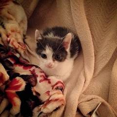 Ulysses the kitten is a lot easier to understand than the novel #cutekitten #kittensofbushwick (Jimmy Legs) Tags: ulysses kitten is lot easier understand than novel cutekitten kittensofbushwick