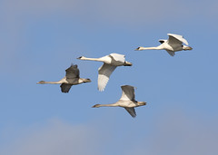 Trumpeter Swans_1598 (Mike Head - Jetwashphotos) Tags: swan trumpeterswan cygnusbuccinator flying reifel reifelbirdsanctuary westhamisland ladner southdelta delta bc britishcolumbia canada westerncanada westernregion