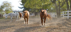 Stampede! (BKHagar *Kim*) Tags: bkhagar horse horses equine hoof hooves fence fences animals outdoor pasture dust dry