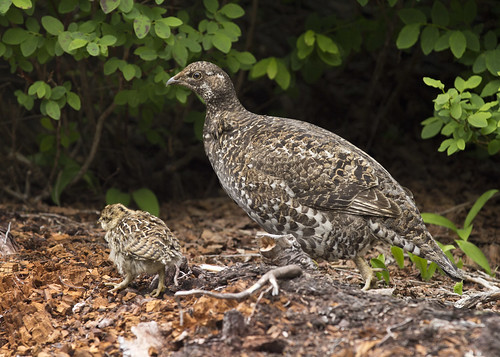 Ptarmigan Mother and Chick