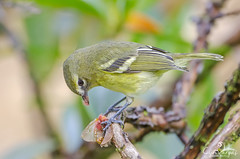 Yellow-winged Vireo (Vireo carmioli) Endemic CR (Cyn Vargas Nature Photo) Tags: bird nature animal costarica ave tropical vireo neotropical yellowwingedvireo vireocarmioli endemiccostarica