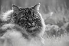 28 August 2015 (runningman1958) Tags: blackandwhite cat nikon feline desaturation 365 moki mocca moccachino 365dayproject dehazing d3100 nikond3100 d3100nikon