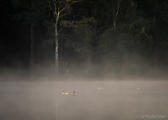 Canada Geese (Sue MacCallum-Stewart) Tags: trees mist earlymorning canadageese richmondpark penponds