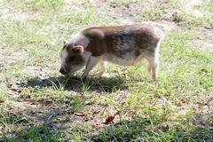 Our Pig Rosco (Richard Elzey) Tags: boy pet male pig bacon farm fat small sausage ham pork rosco swine piglet hog boar potbelly warthog peppa piggie hoofs wildhogs wildboar charlottesweb miniaturepig sewwie