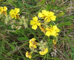 Goodenia stelligera 7 (barryaceae) Tags: park new plants wales bay south australia national heath species crowdy heathplants australianheathplants aushp