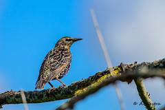 common starling (a3aanw) Tags: bird nature birds nikon 300mm ii nikkor f4 teleconverter afs vogel sturnusvulgaris oostvaardersplassen spreeuw commonstarling ifed tc14e ovp nikond800 nikonafsteleconvertertc14eii nikonafsnikkor300mmf4ifed