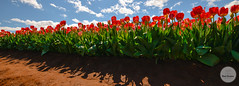 Tulips (Brad Geddes Photography) Tags: flowers sky clouds landscape nikon tulips sunny australia melbourne wideangle tulipfestival sigma1020mm silvan tesselaar
