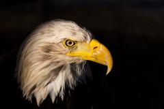 Aguila Calva (Alfredo.Ruiz) Tags: canon mercadomedieval vitoria aguila calva cetreria ef70300 eos6d