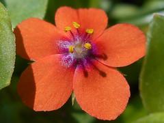 Lysimachia arvensis em detalhe (cris.isaia) Tags: floripa flower florianpolis flor tiny campo wildflower pequena detalhe florzinha restinga florecita florpequena lysimachiaarvensis flordocampoemdetalhe