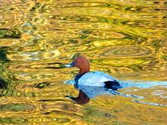 Pochard (karavann) Tags: reflection bird water swirl pochard