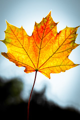 Leaf (simon.eggert) Tags: autumn sky orange sun tree simon leaves yellow canon 50mm leaf mnster eggert