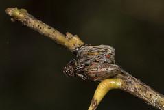 Hornless Oak Treehoppers (Odonata457) Tags: county oak mt unitedstates howard maryland woodstock pleasant conservancy treehoppers hornless platycotisvittata