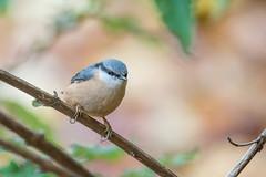 Nuthatch (Explored) (Gareth Keevil) Tags: uk autumn wild detail birds closeup garden yorkshire leeds nuthatch gardenbirds nikond810 nikon200400mm garethkeevil