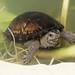 Mississippi Mud Turtle, Juvenile