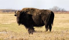 American Bison (Juan Cardama) Tags: wild fall big buffalo saskatchewan bison prairies americanbison