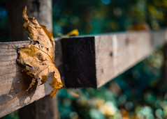 Sitting on the fence can only ever get you one thing, splinters! (Peter Jaspers (busy at the moment)) Tags: autumn fall colors fence leaf utrecht dof bokeh herfst olympus panasonic fenced omd haarzuilens dehaar hff 2015 em10 20mm17 happyfencefriday frompeterj
