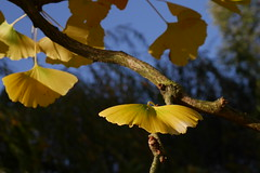 (Ludmila Leonie) Tags: france tree nature yellow jaune lumix balboa arbre feuilles ginko gx7
