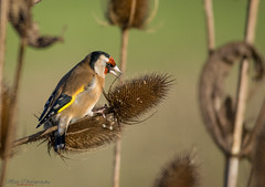 goldfinch on a teasel (Lee Myers - aka mido2k2) Tags: