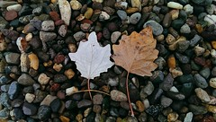 (-phtlvr-) Tags: two nature beauty leaves stone composition flickr stones trkiye rainy naturelover flickrturkey