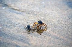 ghost crabs (Baka Guy) Tags: mud sealife flats crustacean tidal guangxi decapod sanniangwan