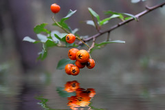 red berries (Rayisa8) Tags: winter red food plant cold color macro reflection green nature wet water closeup fruit season cherry leaf juicy healthy bush berry shiny branch eating vibrant background drop twig bunch backgrounds colored temperature vector freshness ripe raceme