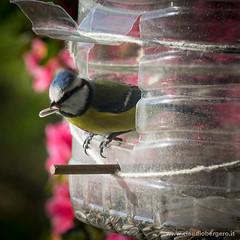 Cinciarella (cbergy) Tags: uccelli animali terrazzo arenzano cyanistescaeruleus cinciarella
