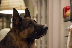 Dog Sous Chef2 (FurtiveOutsider) Tags: dog pet dogs friend shepherd best german chef alsatian alsation helper sous gsd videx