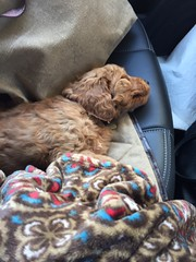 Molly Dee's Zora is sleeping like a baby on her her way to her new home!
