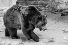 _DSC9418bw (KateSi) Tags: bear blackandwhite bw brown white black animals zoo oso colorado bears denver animales grizzly denverzoo bjorn ours brownbear grizzlybear osos bjorner