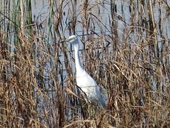 Little Blue Heron - Texas by SpeedyJR (SpeedyJR) Tags: nature birds texas wildlife herons nwr littleblueheron anahuacnationalwildliferefuge anahuacnwr nationalwildliferefuges chamberscountytexas speedyjr ©2015janicerodriguez