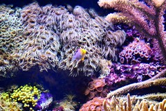 """Did you know that corals are infact animals; infact each """"coral"""" is made up of thousands of animals. They use limestone from seawater to build their hard cup-shaped skeleton, but the animals retain their body and mouth in firm of tentacles.  Nonetheless t (soni.jayantika) Tags: sea fish coral square aquarium singapore underwater squareformat iphoneography instagramapp uploaded:by=instagram"""