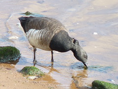 Brant (Dendroica cerulea) Tags: winter bird bay newjersey waterfront nj aves goose brant perthamboy branta anatidae anseriformes arthurkill brantabernicla raritanbay middlesexcounty neornithes anserinae neognathae galloanserae carinatae