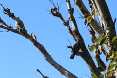 Varied Triller (3) pair (sixdos) Tags: nature birds fauna canon queensland missionbeach biodiversity tropicalnorthqueensland southmissionbeach farnorthqueensland lalageleucomela variedtriller australiannativefauna canoneos7dmarkii missionbreaze kennedywalkingtrack kennedyesplanade