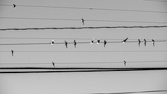 349:365:2015BWH (hermitsmoores) Tags: bw birds nikon december wires fullframe fx pictureoftheday telephonewires d800 2015 nikond800 december2015 3652015