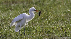 Great Egret with New Year's Day dinner (Bob Gunderson) Tags: california birds northerncalifornia southbay greategret egrets santaclaracounty ardeaalba coyotevalley